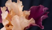Blackwell Iris
