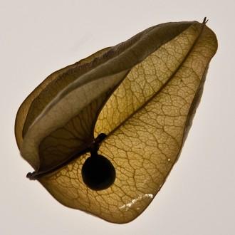backlit seed pod