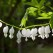 white bleeding hearts