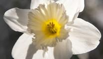 Whire Daffodil